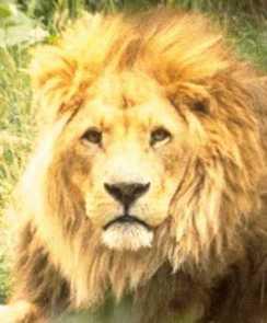 foto hjg leeuw
