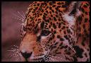 foto hjg tijger3